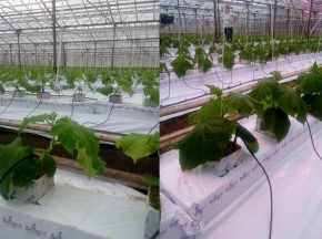 Cultivation of cucumber in anthracite-type greenhouse using horticultural lighting technology